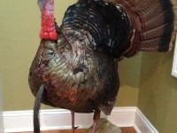 Gobbler, Turkey, Turkey Hunting, Hunting Turkey, Tennessee Turkey Hunting