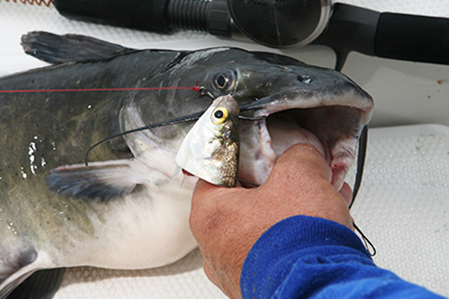 catfish-baits-cut shad