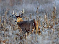 Farmland_Deer_Feature