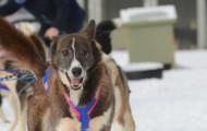 Frozen Glory: Iditarod 2015