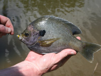 Pound for pound, bluegill are some of the most ferocious fighers available in the Peach State.