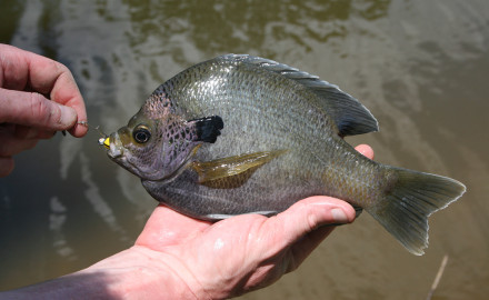 Pound for pound, bluegill are some of the most ferocious fighers available in the Peach