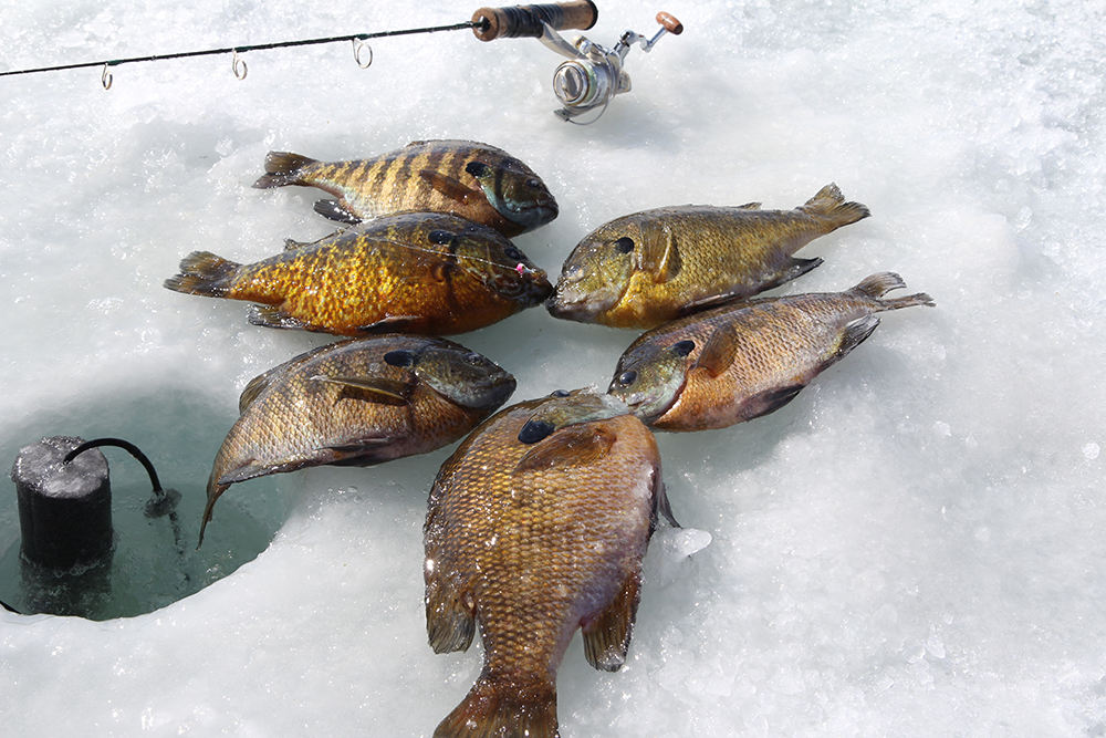 Safe ice in February makes bluegill fishing a prime source of fun and tasty filets on a number of New England lakes, including Quinsigamond.