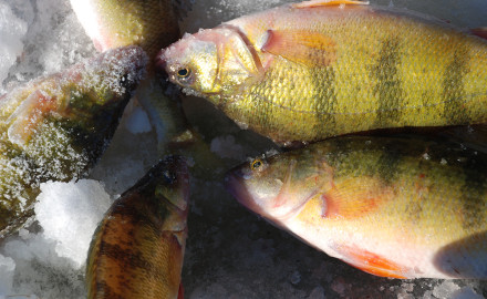 South Dakota lakes are well-known for producing some out-sized perch for winter anglers.