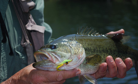 Largemouth bass can be found throughout the state. Sampling from the largemouth fishery at Crab Orchard showed more than 65 percent of the bass caught were 16 inches or larger.