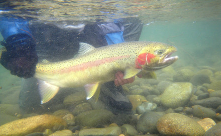 Idaho's Salmon River is a hotspot for steelhead, which are popular among Rocky Mountain anglers.