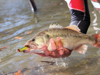 There are so many good places to bass fish in Tennessee that figuring out your favorite can be quite difficult. One of these is close to you.