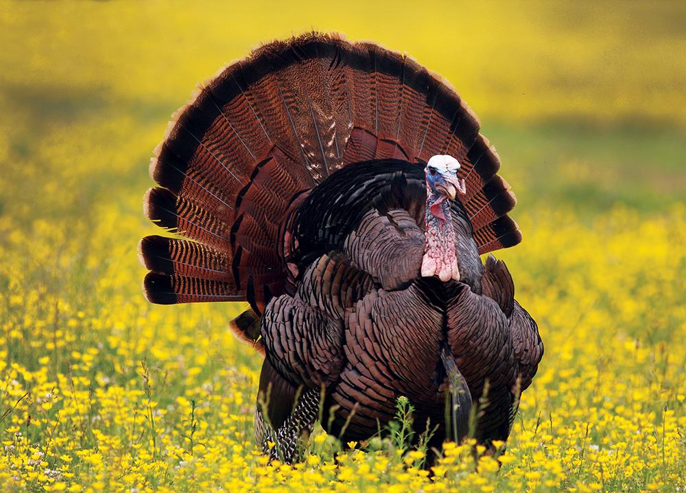 South Carolina Turkey Forecast for 2015