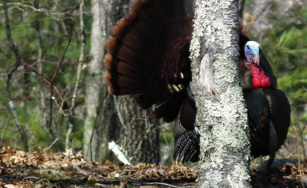 What impact did last winter's severe weather have on our turkeys, and how will that affect this