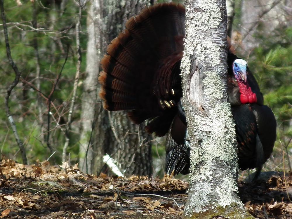 Michigan Turkey Forecast for 2015