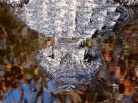 10_alligator
