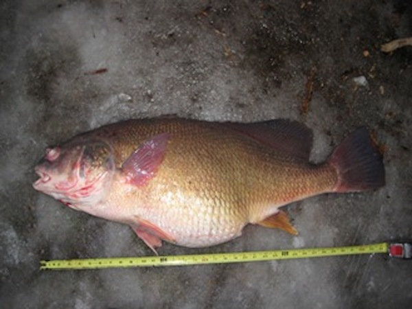 michigan angler catches freshwater drum state record game fish. Black Bedroom Furniture Sets. Home Design Ideas