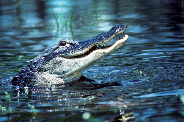 In the Swamps: The Business & Conservation of Gator Hunting