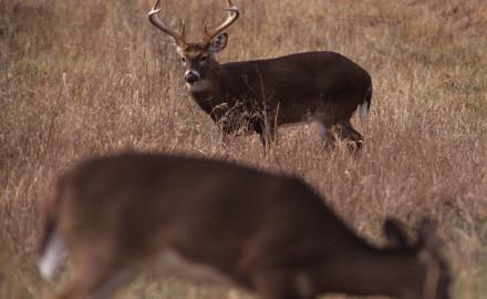 Deer-5-REV