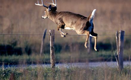 Jumping-Buck800px