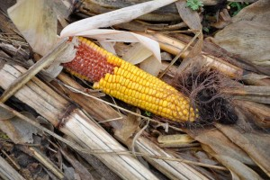 It's no secret that corn is a huge draw for deer. When it's in the milky stage during the early season, deer will rip the cobs off of the stalks and devour it. Later in the season, as the corn dries and matures, they'll return to the field with a vengeance, especially if temperatures have dropped.