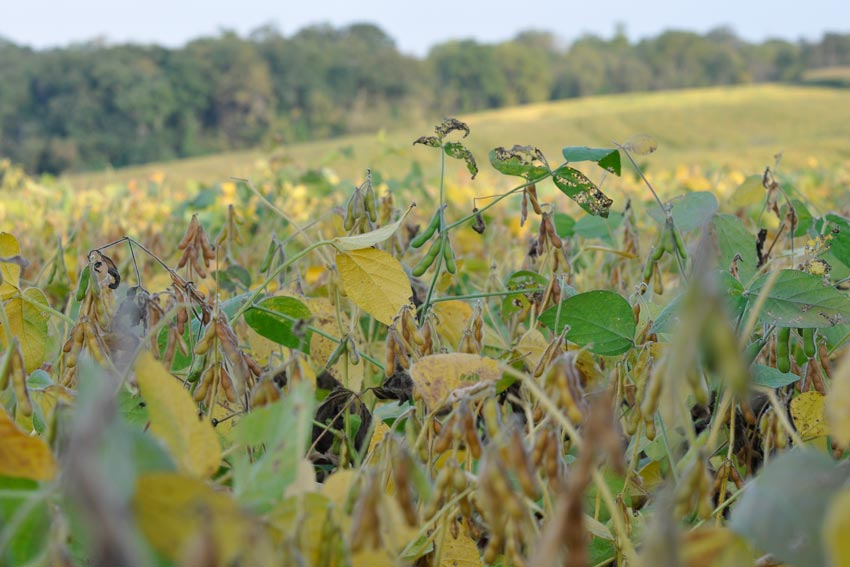 Deer love soybeans and will stay on them until the beans start to yellow. Once yellowing starts to occur, try to hunt a low spot in the field, or a shady spot, where beans are still green and not yellow.