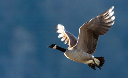 Late-season geese have seen it all by now, from every kind of decoy spread to all the latest and