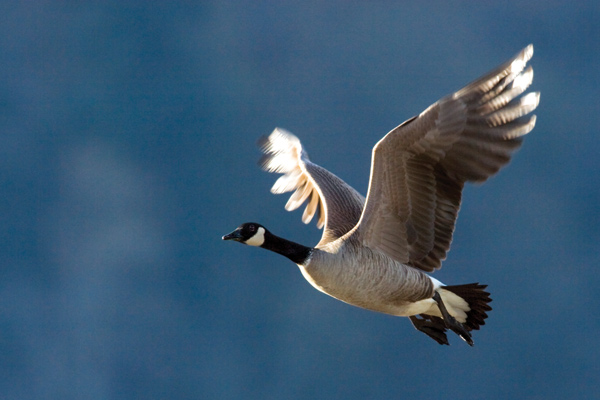 4 Canada Goose Hunting Tips For Winter Game Fish