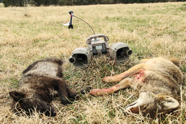 Coyote Hunting with Electronic calls