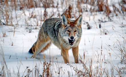 Winter Coyote Hunting Techniques