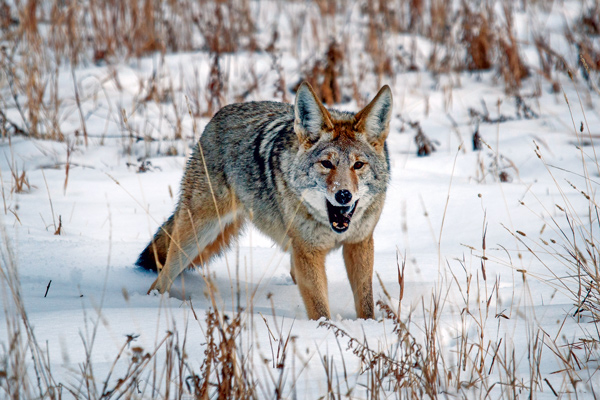 Simple Tips For Winter Coyote Hunting