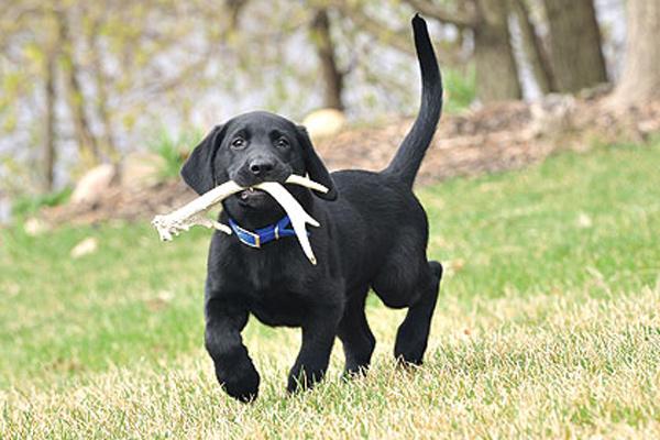 Gun Dog Puppy Training Tips