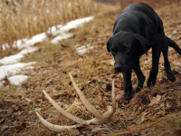 Shed hunting with puppies, puppies shed hunting, shed hunting tips,