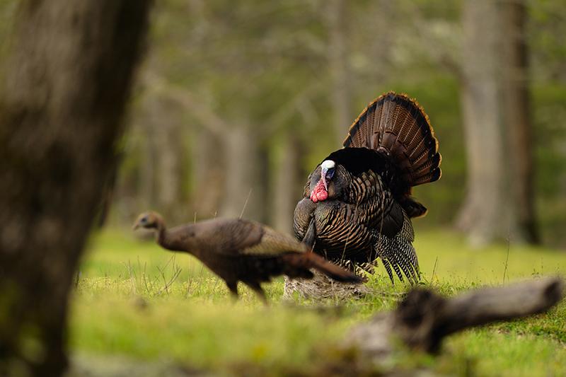 Oklahoma Turkey Forecast for 2016