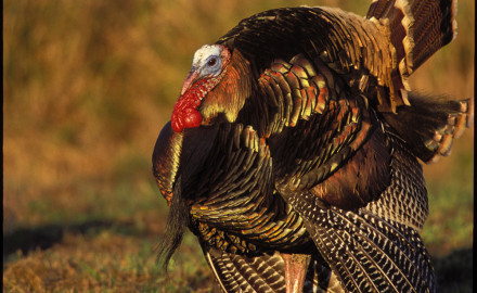 Washington hunters bag nearly 5,000 Merriam's and Rio Grande turkeys a year. An experiment to