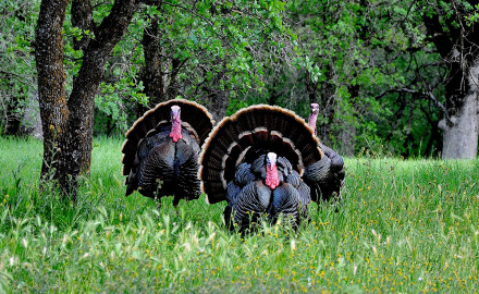 Looking back on spring turkey hunting in 2015, I've got to think that the drought that has been