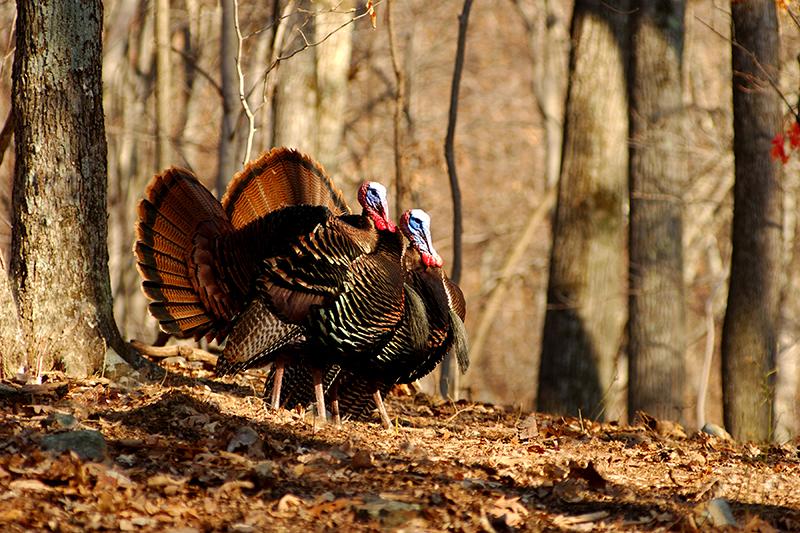 Missouri Turkey Forecast for 2016