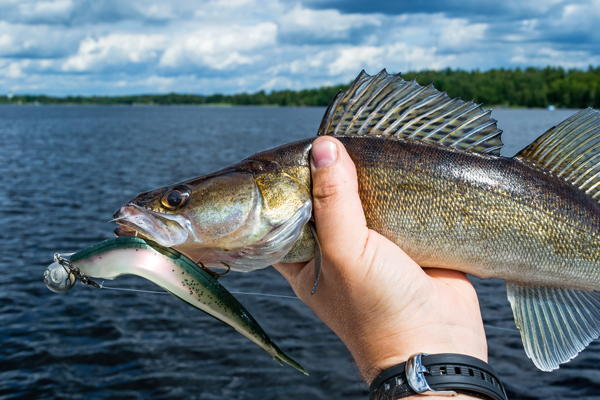 post spawn walleye fishing tactics for walleye