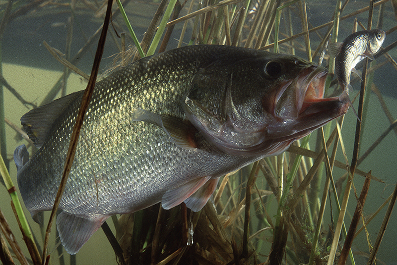 Northern California Bass Forecast for 2016