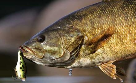 california smallmouth bass