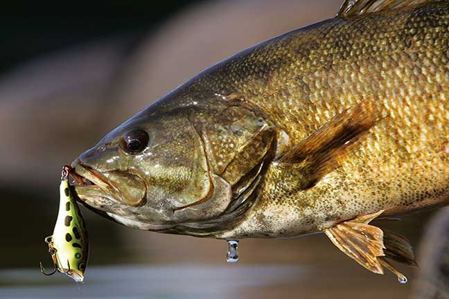 california smallmouth bass