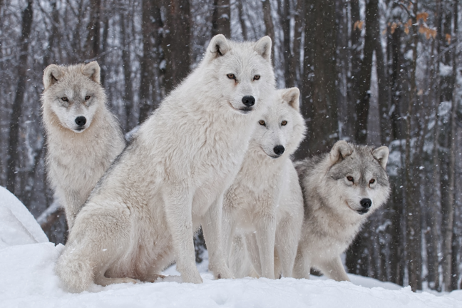 Saving_Wolves_through_SHARE_Act