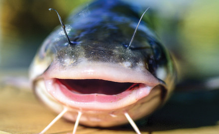 Catfish and bream are two of the best fish for beginners, as they are easy to catch and taste