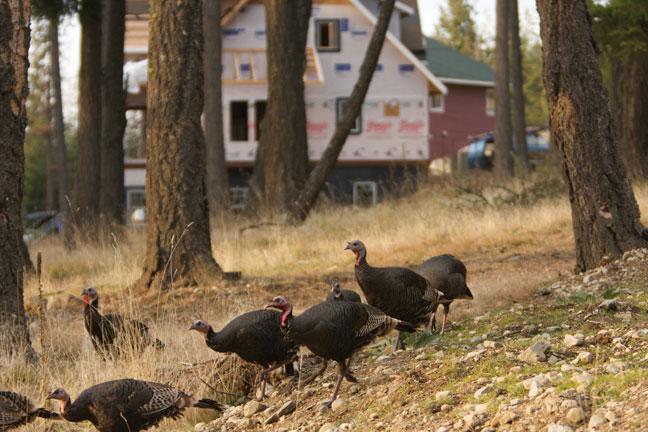 Suburban Turkey Hunting 101