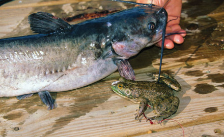 Catching Catfish with Frogs