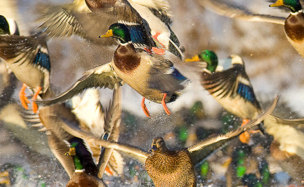 Certainly there are the mallard purists: 'fowlers for whom the thought of hanging anything other