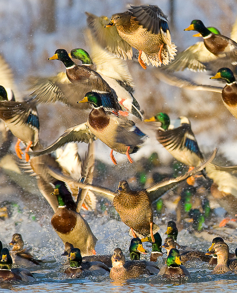 The Quest For Mallards