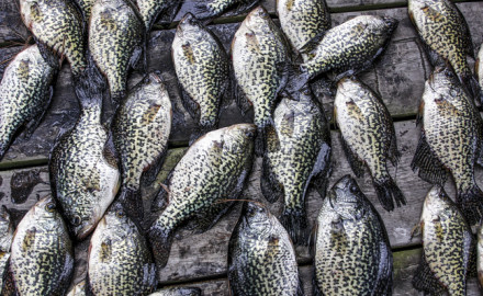 Many crappie anglers only fish the pre-spawn and the spawn, when crappie congregate in huge