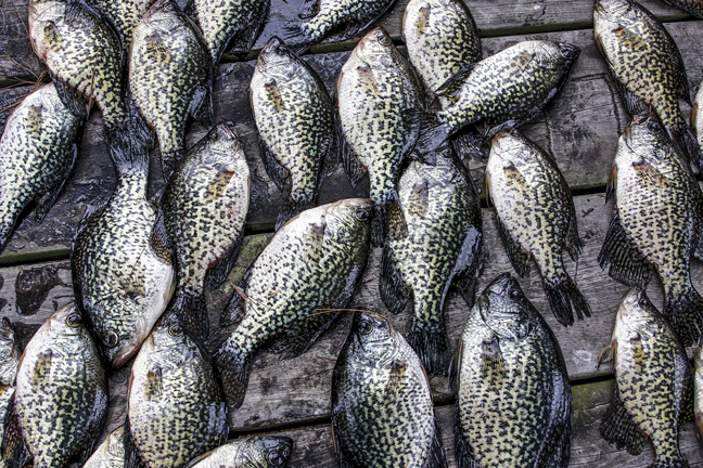 Beat the heat look deep for summer crappie game fish for Best crappie fishing times