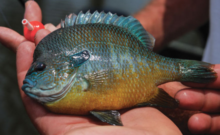 Patterning Summer Bluegill