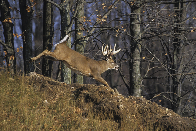 Alabama Whitetail Deer