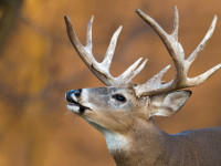 poachers-Whitetail Deer