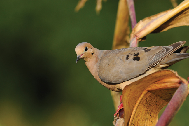 Great Dove Picture