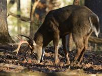 Great Missouri Deer