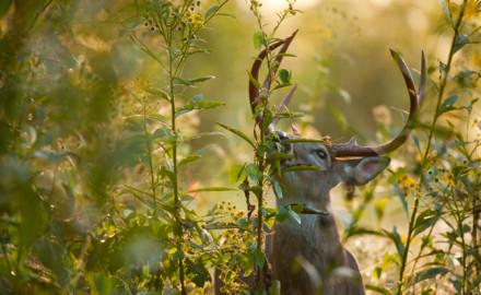 GreatPlains Deer